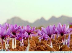 Saffron is considered as the beauty secret of ancient Indian women. Eating saffron flower is believed to give fairness to skin. Saffron flowers are powdered and mixed with milk for drinking. Drinking saffron added milk is considered to be good for. Saffron Benefits, Saffron Flower, Indian Garden, Kashmir India, Organic Farming, Flower Art, Flower Power, Fields, Beautiful Flowers
