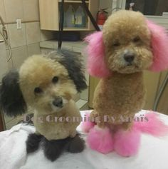These dogs are naturally all white. Black for Monty and light pink for Bella. Both bodies are dyed brown Yorkie Cuts, Labradoodle Dog, Creative Grooming, Pink Dog, Groom Style, Pet Grooming, Shop Ideas, Maltese, Baby Animals
