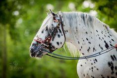 Noriker stallion by Alexia Khruscheva