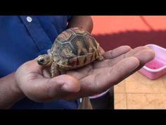 """""""The discovery of two baby ploughshare tortoises born in the wild to parents bred in Durrell's conservation breeding programme provides hope that despite huge challenges the fight to save the world's rarest tortoise can be won."""""""