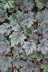 Frosted Violet Coral Bells (Heuchera 'Frosted Violet') at The Growing Place
