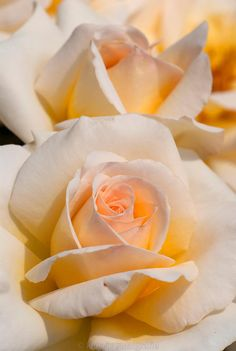 Dreamy Rose  ~'Telethon'