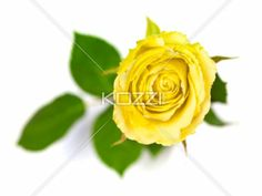 Yellow Rose with Leaves - Yellow rose shot from the top, with the leaves in the background.
