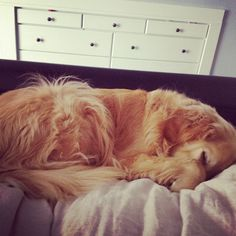 goldens are so sweet.