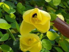 Yellow bauhinia (Yellow Bell Orchid Tree) - Bauhinia tomentosa yellow Bauhinia is a species of legume in the Fabaceae family. It is found only in Mozambique, Zimbabwe, India and Sri Lanka. The plant is known to have antimicrobial activity against Gram-positive bacteria.