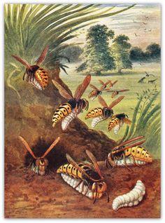 1953  Wasps Print Entomology Vintage Lithograph Wasps