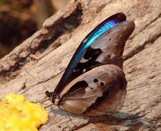 Morpho Butterfly, Insects, Animals, Butterflies, Animales, Animaux, Animal, Animais