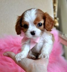 Tiny King Charles Spaniel Puppy SOLD, Moving to Panama City!