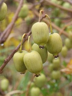 Актинидия - Ягодные - Плодовые и ягодные культуры - GreenInfo.ru