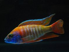 chilumba peacock cichlid - Google Search