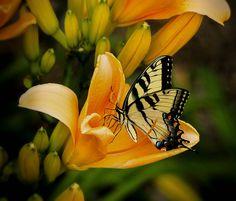 As borboletas são insetos delicados, com asas multicoloridas e são importantes na polinização das flores. Não é comum encontrarmos uma borboleta voando e colorindo a vida agitada da cidade grande. A poluição ambiental afeta diretamente a vida das borboletas. Por isso, a presença ou não de borboletas é um bom indicador da qualidade do ar de uma região. As borboletas frequentam lugares com ar mais puro e onde tenha vegetação porque na fase de lagarta precisa de alimento (devora as plantas!).