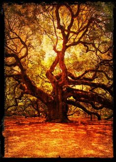 Photographer John Galyon This is Angel Oak, the oldest living creature, an estimated 1500 years old. Angel Oak resides on John's Island, near Charleston, South Carolina. Although these trees aren't usually very tall. Angel Oak has a height of over 65', but what is most impressive is the circumference of it's main trunk, which is over 25', and it's shade cover of over 17,000 sq. ft. An oddity of the live oak is that many of it's lower limbs grow beneath ground and then reimerge.