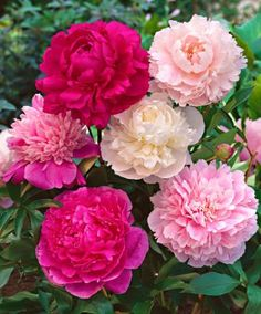 Pioenrozen mix - De sterke pioenroos (Paeonia hybriden) is een klassieke tuinplant die niet mag ontbreken in de bloemenborder. De grote, dik gevulde bloemen geuren heerlijk!