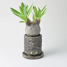 Arc Clay Barrel Pot SS + パキポディウム・グラキリス [ボールフォーム]   多肉植物・特別な鉢の販売   トーキー   TOKY