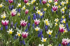 size: Photographic Print: Mixed Tulips and Grape Hyacinth by Mark Bolton : Daffodils, Tulips, Poppies, Garden Bulbs, Planting Bulbs, Salvia Plants, Crocosmia, Gladiolus, Bulb Flowers