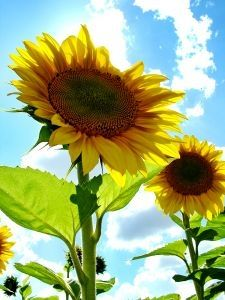 The Sunflower State ~ History of Kansas | Facts & Photos