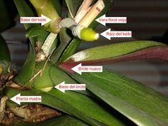 Orquídea Phalaenopsis produce un keiki anual.
