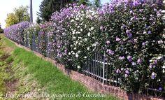 Un quadrato di giardino :: Discussione: Siepe di ibisco (Hibiscus syriacus): siepe decidua ma molto fiorita (1/1)