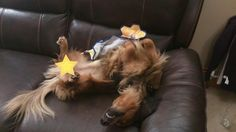 This is how dachshunds sleep!