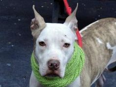 HEAVENS is an adoptable Pit Bull Terrier Dog in New York, NY. A volunteer writes : Heavens is a very shy girl. Her aqua eyes are growing big as I approach her kennel and she rolls on her back in submi...