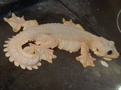 Henson the Leucistic Flying Gecko: Kuhl's Flying Gecko (Ptychozoon kuhli) Pretty Animals, Cute Baby Animals, Animals Beautiful, Animals And Pets, Funny Animals, Les Reptiles, Cute Reptiles, Reptiles And Amphibians, Cute Lizard