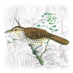 Garrinchão, Garrincha, Curruíra e Japacanim, Aves da Família Troglodytidae