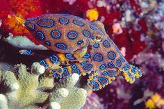 Image: Blue Ringed Octopus (© Richard Merritt FRPS/Flickr/Getty Images) God does amazing work