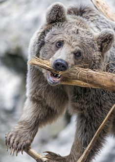 Grizzly Bear Sharpening His Teeth! Animals And Pets, Funny Animals, Cute Animals, Bear Pictures, Animal Pictures, Bear Images, Animals Photos, Majestic Animals, Animals Beautiful