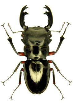 Odontolabis imperialis