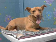 TUCKER - ID#A4743823  My name is Tucker and I am described as a neutered male, tan Chihuahua - Smooth Coated mix  The shelter thinks I am about 3 years old.  I have been at the shelter since Aug 10, 2014. Back For more information about this animal, call: Los Angeles County Animal Control - Lancaster at (661) 940-4191 Ask for information about animal ID number A4743823