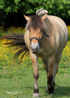 Norwegian Fjord horse - title 'Beautiful Suede' - by MorganeS-Photographe on DeviantArt