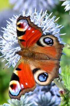 Peacock (Inachis io) butterfly