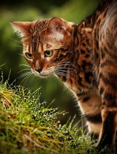 69 Best Bengal Cat images in 2014 | Pretty cats, Cats, Bengal cats