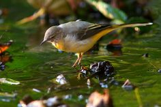 Grey Wagtail photos and facts including description, habitat, food, breeding, conservation status Grey Wagtail, 10 Picture, Habitats, Birds, Animals, Comme, France, Friends, Amigos