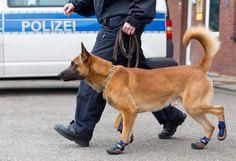 La polizia federale di Osnabrueck, in Germania, ha dotato i cani dell'unità cinofila K9 di speciali stivaletti in tessuto tecnico. Le calzature, indossate solo durante le uscite, hanno lo scopo di proteggere le zampe degli animali, soprattutto sui luoghi degli incidenti e degli omicidi Police Dogs, Dog Wear, Dog Boarding, Dog Owners, Trainers, Germania, Happenings, Shit Happens, Friends