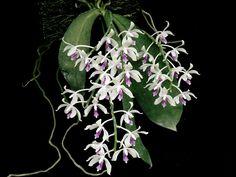 Phalaenopsis Inscriptiosinensis | Phalaenopsis doweryënsis (Đông bắcBorneo). Phalaenopsis Donna's ...
