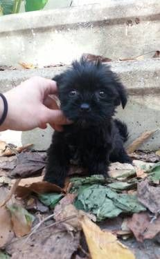 Tiny teacup Shorkie puppies omg so cute please come to my house I'll love u forever