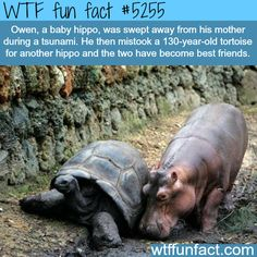 [sc [sc Baby hippo became friend with a tortoise – WTF weird & interesting fun facts [sc Wtf Fun Facts, Funny Facts, Random Facts, Crazy Facts, Funny Humor, Cool Facts, Kids Facts, Epic Facts, Awesome Facts