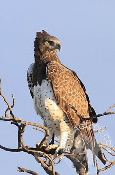 Martial eagle in Namibia // Aigle martial - All Birds, Birds Of Prey, Love Birds, Pretty Birds, Beautiful Birds, Animals Beautiful, Exotic Birds, Colorful Birds, Rapace Diurne