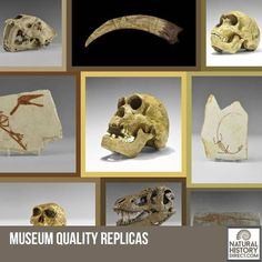 Museum Quality Replicas - Shop the collection, website updated daily, click here now www.NaturalHistoryDirect.com
