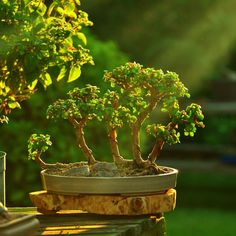 """""""Raft style bonsai forest. All tress are part of the same trunk. Love how this shot came out. #bonsai #bonsaitree #bonsaiforest #forest #miniature…"""""""
