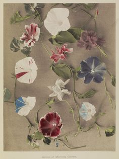 Group of Morning Glories; Kazumasa Ogawa (Japanese, 1860 - 1929); Yokohama, Japan; 1896; Hand-colored collotype; 28.1 x 21.3 cm (11 1/16 x 8 3/8 in.); 84.XB.759.6.11