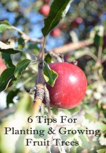 "6 Tips for planting and growing fruit trees - as soon as we build our patio, I'm adding a ""fruit salad"" tree. Good tips!"