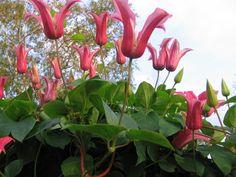 tx vines> clematis Princess Diana (Clematis texensis (Scarlet Clematis))