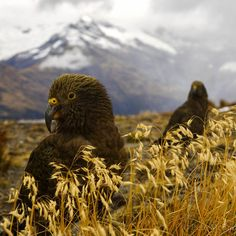 Photo @pedromcbride // Two curious Kea parrots of New Zealand, the only alpine parrot in the world, come to investigate my camera. Mt. Cook looms in the distance.