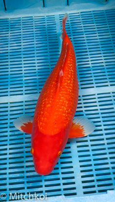 Live koi fish for sale in cebu goldfish for sale in cebu for Benigoi koi for sale
