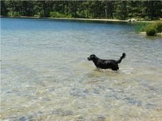 Black lab taking a dip in one of Cape Cod's beautiful freshwater ponds.