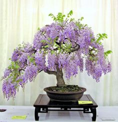 Learn how to grow wisteria in a pot. Our post shows you how to propagate and has a video tutorial to step you through process. You'll love all the ideas.