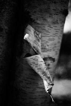 Paper Birch Tree Bark Detail (A0012161)