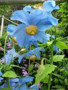 Gardening, best! i met some of these blue poppies in new zealand and they blew my mind....
